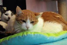 [유기묘]고양이 하악이 임시보호나 입양 가족을 기다립니다.