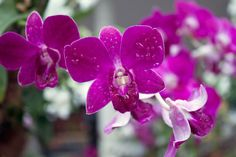 Orchid Flower   Orchid Flower In Singapore by mark yang