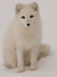 gorgeous white fox