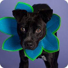 Gilbert, AZ - Boston Terrier Mix. Meet Kovu, a dog for adoption. http://www.adoptapet.com/pet/12650070-gilbert-arizona-boston-terrier-mix