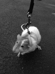 Pet ratty on a leash. Via Twitter. Ok, That's too cute