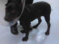 02/14/14 FINN  Rottweiler & Labrador Retriever Mix • Young • Male • Large  Pasadena Animal Rescue and Assistance Pasadena, TX