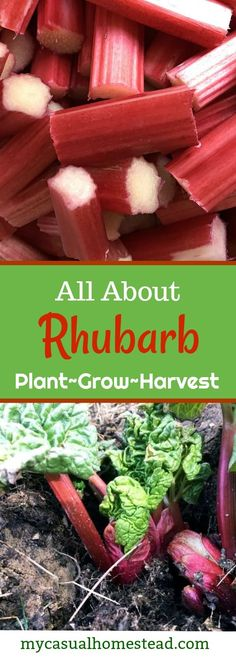 Rhubarb is a useful heirloom perennial that is useful in any garden. Learn the best way to plant, grow and harvest rhubarb for many years. Gardening is always better with Rhubarb.