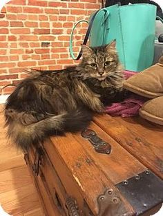 12/29/16 Baltimore, MD - Maine Coon. Meet Kitters (COURTESY POST), a cat for adoption. http://www.adoptapet.com/pet/17299390-baltimore-maryland-cat