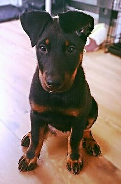 Beaucerons are so adorable Chicken For Dogs, Unique Dog Breeds, Animal Antics, Dog List, Herding Dogs, Different Dogs, Unique Animals, Big Dogs, Dog Mom
