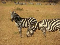 Zebras, Many of these can be seen in Lake Mburo National park