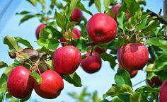 Einen Apfelbaum kaufen: So finden Sie die perfekte Sorte für Ihren Garten -  Wenn Sie einen neuen Apfelbaum kaufen wollen, sollten Sie zunächst diese sechs wichtigen Fragestellungen klären. So bleiben Ihnen Enttäuschungen garantiert erspart.
