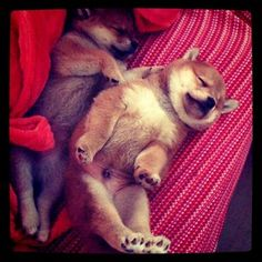 Shibastagram Cute Puppies, Cute Dogs, Dogs And Puppies, Pet Allergies, Japanese Dogs, Beagle Puppy, Cute Funny Animals, Shiba Inu, Puppy Love