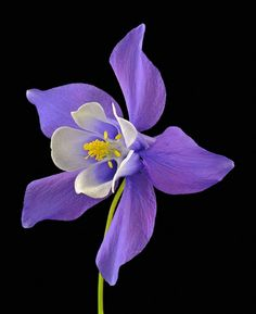 We are Columbine. Tropical Flowers, Flowers Nature, Exotic Flowers, Amazing Flowers, Beautiful Roses, My Flower, Purple Flowers, Flower Art, Beautiful Flowers