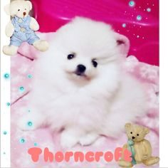 About Thorncroft Pomeranians