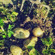#vegetable #orto #patate #potetoes #senzantorto #foligno