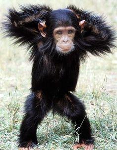 Lovely #Chimpanzee
