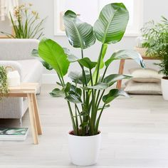 Buy giant white bird of paradise /wild banana Strelitzia nicolai: Delivery by Waitrose Garden in association with Crocus Snake Plant Care, Large Indoor Plants, Paradise Plant, Banana Plants, Banana Plant Indoor, House Plants Decor, Big Leaves, Interior Plants, Tropical Garden