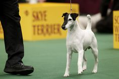 Smooth Fox Terrier. This is Adam! He took 2nd place at Westminster. Looks like Tahoe!