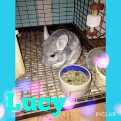 My chinchilla named Lucy she is just a year old