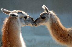 Wildlife Kisses