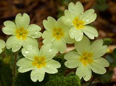 Bought some beautiful primroses today from the nice man at Rotherview nursery.  Joy in a pot for the princely sum of 80p.  Primrose apparently comes from the latin prima rosa literally meaning first rose.  Spring is round the corner.