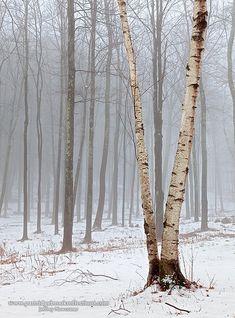 Split Birch, Peacock Park, Roads End Farm, Chesterfield, New Hampshire by Jeffery Newcomer
