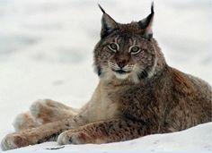 Ilves on vaarallinen eläin ja sitä on tosi vaikea nähdä.Ilves osaa saalistaa todella hyvin ja helposti.  Kirjoittanut:Krisse