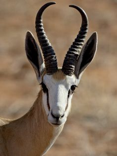 Springbok with curved antlers