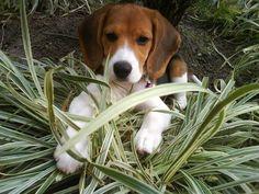 Cuidados para tener con la raza Beagle - http://razabeagle.com/cuidados-para-tener-con-la-raza-beagle/