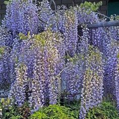 wisteria  - A must for my house.  Not sure where to put it maybe in front?