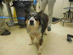 Border Collie dog for Adoption in Santa Rosa, CA. ADN-468684 on PuppyFinder.com Gender: Male. Age: Senior