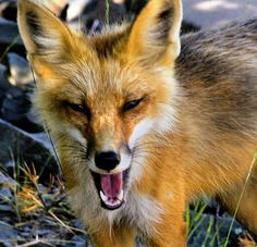 Red Fox, not THE Redd Foxx