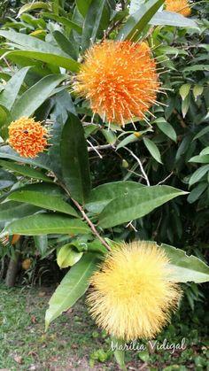 Esponja de ouro - Jardim Botânico- Rio de Janeiro - Foto: Marília Vidigal Carneiro