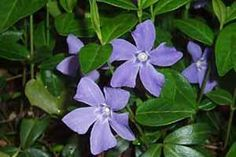 Periwinkle - Clinical Signs: Vomiting, diarrhea, low blood pressure, depression, tremors, seizures, coma, death.