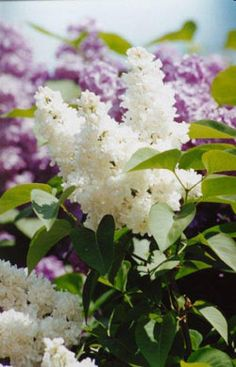 ♥  The scent of lilacs in Spring.