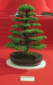 Image result for chinese elm bonsai