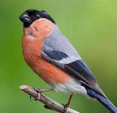 Image result for bullfinch