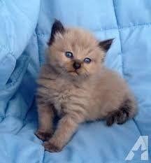 Ragdoll Kittens For Sale Waz Zap What Sapp 60172415563 For Sale Adoption From Kuala Lumpur Adpost Com Classifieds M Ragdoll Kitten Kitten For Sale Kittens