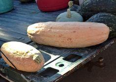 #JumboPinkBanana #Heirloom Winter Squash Seeds Non GMO #NaturallyGrown Open Pollinated