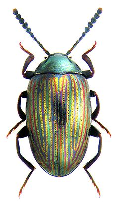 Chrisomelidae unidentified species - Pin This Beetle Insect, Beetle Bug, Insect Art, Cool Insects, Bugs And Insects, Insect Photos, Instalation Art, Cool Bugs, Bug Art