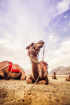 Camels in the Nubra Desert, India