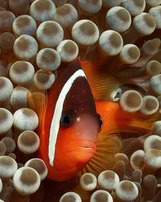 "worlds-evolution: "" Tomatoe Clownfish "" Underwater Creatures, Underwater World, Saltwater Aquarium, Aquarium Fish Tank, Beautiful Fish, Pretty Fish, Simply Beautiful, Fish Tank Design, Salt Water Fish"