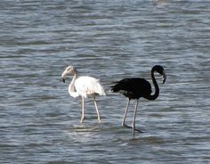 Photos of Melanistic Greater Flamingo in Eilat Israel. What are black flamingos? Why are melanistic greater flamingo black? Rare Animals, Zoo Animals, Flamingo Photo, White Flamingo, Pink Flamingos, Arte Yin Yang, Melanistic Animals, Flamingo Pictures, Greater Flamingo