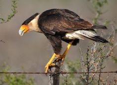 A tropical falcon version of a vulture, the Crested Caracara reaches the United States only in Arizona, Texas, and Florida. It is a bird of open country, where it often is seen at carrion with vultures. of Prey Arizona Birds, Birds Of Prey, Birds 2, Bird Book, Desert Life, Outdoor Education, Backyard Birds, Bird Species, The Ranch