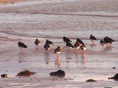 Oysters' catchers in Mallaig beach (Scotland).