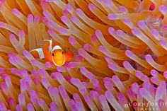 False Clown Anemonefish 23 by Cornforth Images, via Flickr