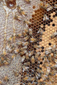 Bee & honeycomb.