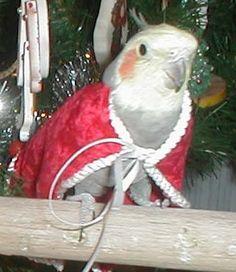 Christmas Cockatiel