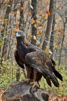 Aigle royal // Golden Eagle (Aquila chrysaetos)                                                                                                                                                      More