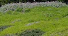 Ceanothus maritimus in foreground, Salvia Pt. Sal in background, and Baccharis Pigeon Point  in the rest of the picture. - great article on getting rid of grass
