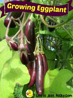 Growing Eggplant - It's easy once you know the secrets of what the plant likes. Tips for growing the best eggplant in your organic vegetable garden. And how do you cook them? Eggplant Plant, Growing Eggplant, Organic Vegetables, Growing Vegetables, Growing Plants, Planting Vegetables, Veggies, Fruit Garden, Edible Garden