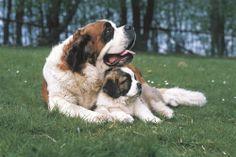 St. Bernard mom and pup
