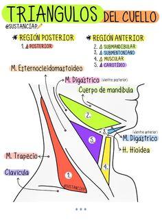 Dental Anatomy, Medical Anatomy, Studying Medicine, Medicine Notes, Nursing Notes, Med Student, Med School, Anatomy And Physiology, Medical School