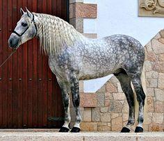 Pura Raza Española stallion, Lavandero VIII.
